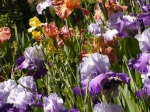 image of irises in a garden